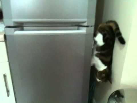 Cat Climbs Down Refrigerator