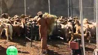 getlinkyoutube.com-تأهيل وتطوير الطرق التقليدية لتربية الحيوانات - عُمان