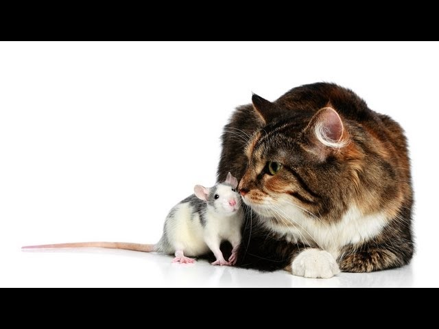How Do Pet Rats Mark their Territory? | Pet Rats