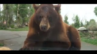 getlinkyoutube.com-Bears attack our car at Yellowstone
