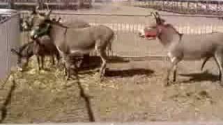 asini a sardegna cavalli