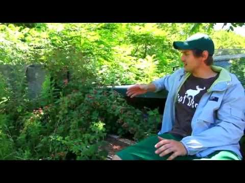 Learn Permaculture For Cold Climates // Black Raspberries