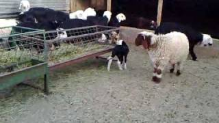 شاة صغيرة تلعب Sheep on a small play
