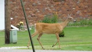 Deer walking in yard.