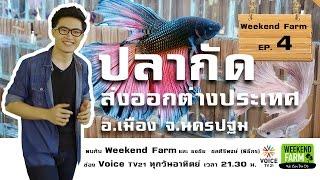 getlinkyoutube.com-Weekend Farm ตอนที่ 004 : ปลากัดส่งออก อ.เมือง จ.นครปฐม : Matichon TV