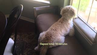 getlinkyoutube.com-Sidiqi the Goldendoodle: Dad's Home