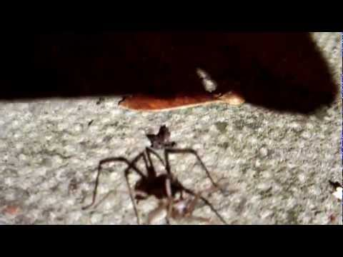 Six-legged House Spider