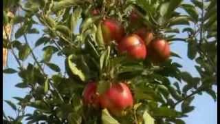 getlinkyoutube.com-Sachgeschichte - Apfelernte