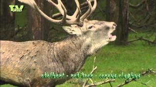 getlinkyoutube.com-Red Deer rut -  Hertenbronst - Cervus Elaphus - Edelhert