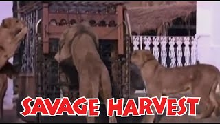 Savage Harvest (1981) (480p) (English)
