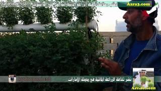 رحلة في عزبة سعيد الكليلي العامري لتربية الابل وزراعة الجت بالزراعة المائية