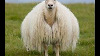 getlinkyoutube.com-34 photo, sheep, lambs and rams good - Ovejas, corderos y carneros buenos
