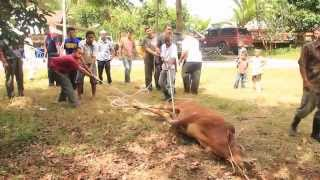 getlinkyoutube.com-Lembu Korban Mengamuk - Aidiladha Di Kampungku