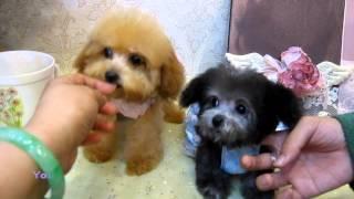 getlinkyoutube.com-Tiny Teacup Poodle 897.915 - Teacup poodle Toy poodle Pocket Teacup poodle