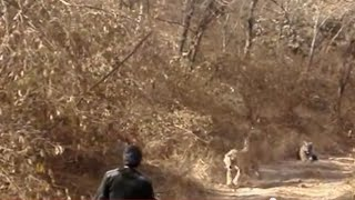 getlinkyoutube.com-Tigers in India's Ranthambore National Park charging warden