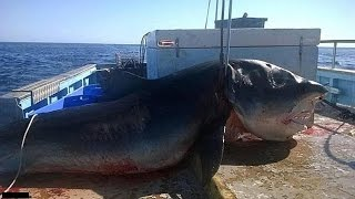 getlinkyoutube.com-Top 5 Biggest Great White Sharks Ever Caught