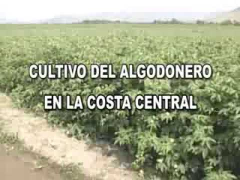 CULTIVO DE ALGODON EN LA COSTA CENTRAL: INTRODUCCION