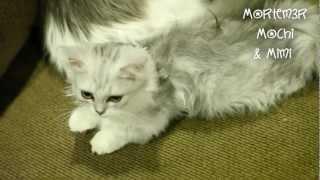getlinkyoutube.com-Sleepy Kittens Cleaning! Mochi and Mimi - Napoleon Munchkin Kittens