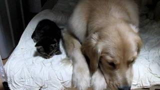 getlinkyoutube.com-ゴールデンレトリバー/犬と子猫 こっちで寝よう   太郎とコボちゃん