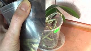 getlinkyoutube.com-Пересадка уценённой орхидеи от А до Я.
