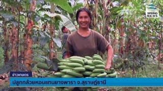 getlinkyoutube.com-เกษตรกรสุราษฎร์ธานี ปลูกกล้วยหอมทองส่งออกแทนยางพารา - Springnews