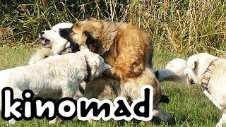 getlinkyoutube.com-Pack Fight - Ethology of Shepherd Dogs 02. гончих борьба - sürü kavga