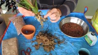 Repotting Oncidium Orchid