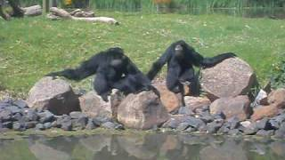 getlinkyoutube.com-Stunning Siamang Vocal Performance