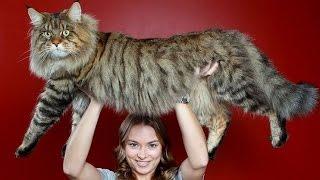 getlinkyoutube.com-ТОП 11 - самые большие коты в мире: породы кошек от бобтейла до саванны