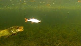 Cool: pike attacks dead bait underwater. Gäddfiske. Hechtangeln. Pesca del lucio. Рыбалка атака щуки