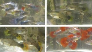 getlinkyoutube.com-Crossbred Guppies (Neon Blue x Sunset Micariff) F1, 4 Months, Sold