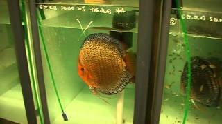getlinkyoutube.com-A tour through my discus hatchery