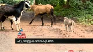 getlinkyoutube.com-The monkey shepherds of Nelliampathy in Kerala : Asianet News Special