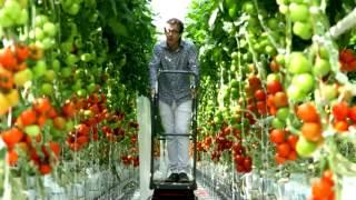 getlinkyoutube.com-Tomates : pourquoi et comment les cultive-t-on sous serre ?