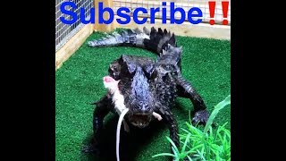 Dwarf caiman and Red eared sliders feeding on live mice and one got away🙌🏾😆‼️