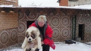 getlinkyoutube.com-Щенки алабая. www.r-risk.ru +79262205603 Татьяна Ягодкина