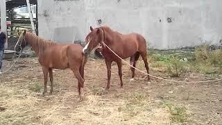 Monta de caballo a yegua