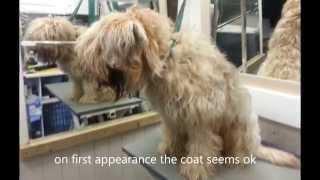 getlinkyoutube.com-Wheaten Terrier has coat shaved off