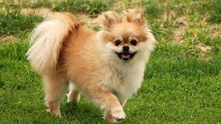 getlinkyoutube.com-Pomeranian Hair Cut and Grooming