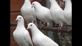 getlinkyoutube.com-Homing Pigeons -- The White Homers Have Babies!!!