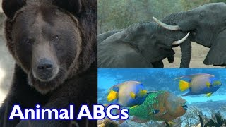 getlinkyoutube.com-Animal ABC Song for Kids | Cute Animals | Funny Animals | Kinder Playtime