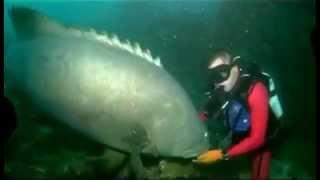 getlinkyoutube.com-Massive Fish Bites Scuba Diver DANGER!