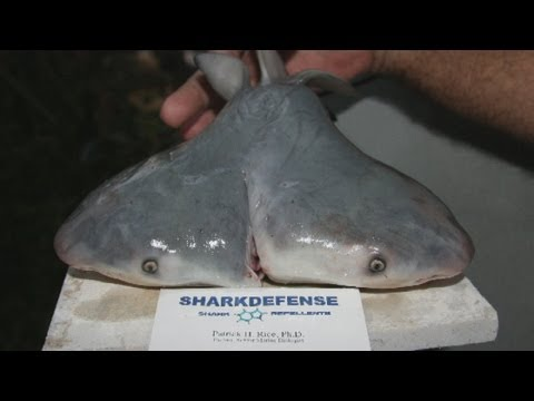 Strange pictures of a two-headed bull shark discovered in the Gulf of Mexico