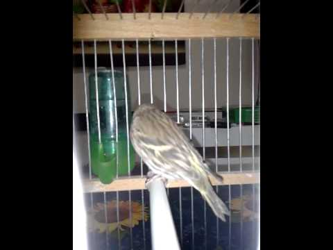 Siskin mutation brown , lugano spinus