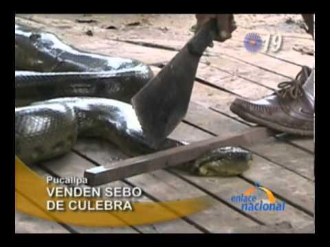 Anaconda gigante es hallada dentro de vivienda