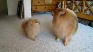 "getlinkyoutube.com-Pomeranian ""twins"" barking contest"