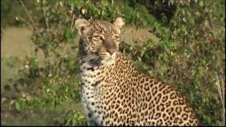getlinkyoutube.com-Olive the leopard from BBC Big Cat Diary