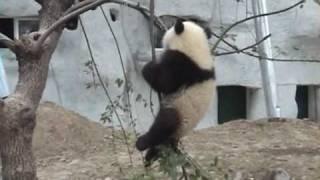getlinkyoutube.com-Baby Panda Bear falls out of Tree