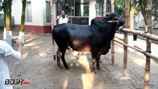 Dangerous Bull of Nirjash Agro - Bangladesh er Gorur Haatt