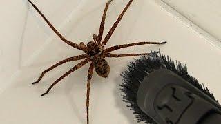 getlinkyoutube.com-Big Spider Bathroom Daddy Screamer Arachnophobia Warning
